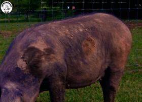 largeblackhogassociation.org